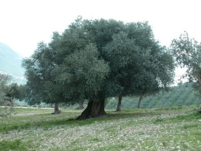 The Farm: Our Olive Grove and our Extra Virgin DOP 		  Sabina Olive Oil