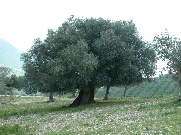 Our giant 		  olive tree in Scandriglia